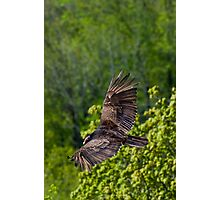 Turkey Vulture from above on Spectacular Wings Photographic Print