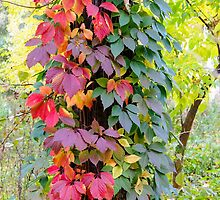 Virginia Creeper in Autumn by MaxalTamor