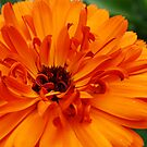 Marigold - Tres by rabeeker