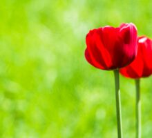 Two red tulips Sticker