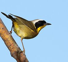 Common Yellowthroat Warbler by tomryan