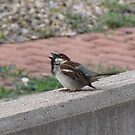 Singing Sparrow by janetmarston