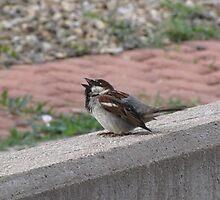 Singing Sparrow by janetmarston
