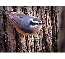 """""""Red-Breasted Nuthatch"""" Photographic Print"""