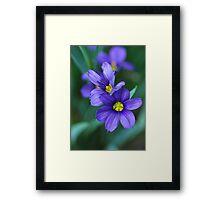 Blue-eyed grass 216 Framed Print