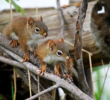 Baby Red Squirrels by Renee Dawson