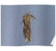 Pale Prominent Moth Poster