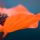 A Poppy by HelenaBrophy