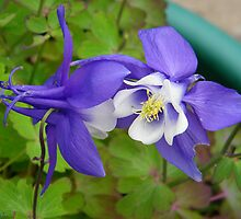 Aquilegia by LoneAngel