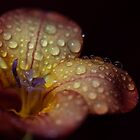 Freesia in the Rain by RA-Photography