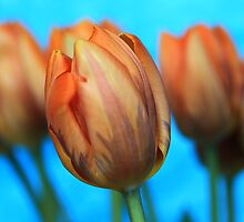 Golden Tulips with Blue Background by RA-Photography
