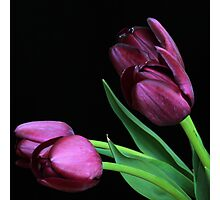 Dark Purple Tulips Photographic Print