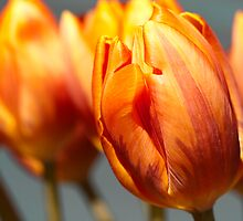 Golden Tulips by RA-Photography