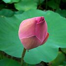 Pink Bud by theblackazar