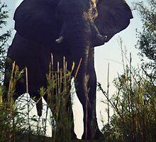 Bull elephant on a cliff over the Zambezi River, Zimbabwe by Bev Pascoe