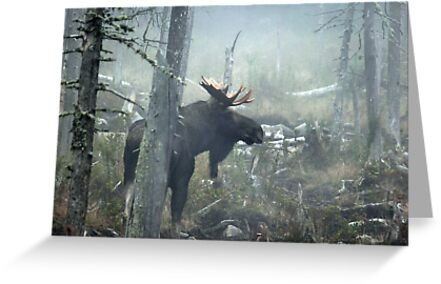 Bull Moose In Morning Mist by mooselandtours