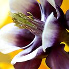 Purple and Yellow Aquilegia by RA-Photography