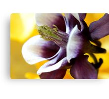 Purple and Yellow Aquilegia Canvas Print