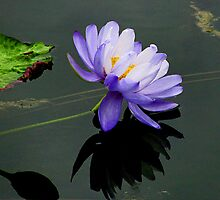 Lovely Water Lily by kittyrodehorst