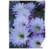 Echinopsis Blossoms Poster