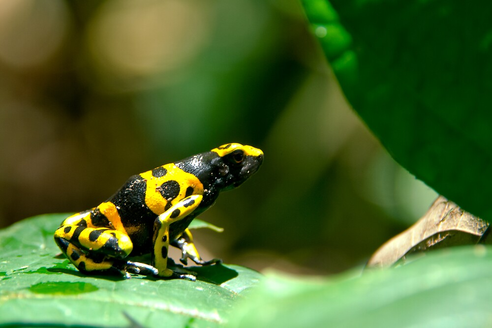 Poisonous frog by Phil  Hatcher