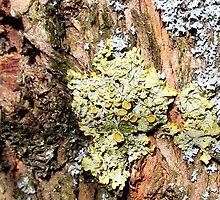 Lichen by stiglinc