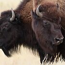 Bison Friendship by William C. Gladish