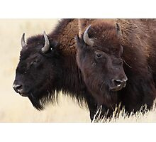 Bison Friendship Photographic Print