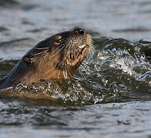 River Otter with Fish by William C. Gladish
