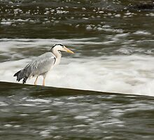 Grey Heron on the Weir by kernuak