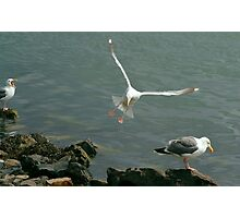 Gull landing with vocals Photographic Print