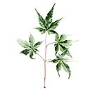 Maple Leaf by Rene Hales