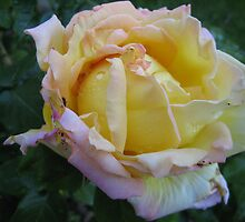 Yellow And Magenta Rose by Terry Krysak