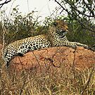 Leopard resting, Kruger N P, South Africa by Bev Pascoe
