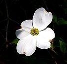 Welcoming Spring - Dogwood by WalnutHill