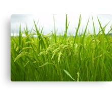 Rice field Canvas Print