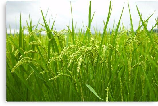 Rice field by komashyaru