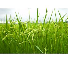 Rice field Photographic Print