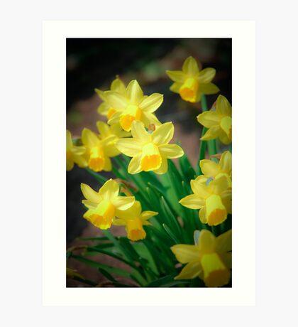 Spring flowers - narcissus Art Print