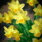 Spring flowers - narcissus by komashyaru