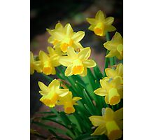 Spring flowers - narcissus Photographic Print