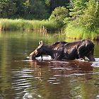 Moose Morning by mooselandtours
