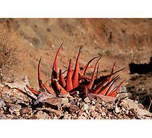 Aloe - Fish River Canyon Namibia Photographic Print