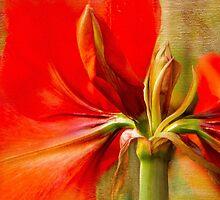 Amaryllis Splendour by Marilyn Cornwell