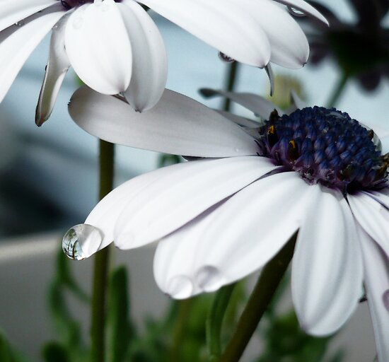 Daisy Drop by Elizabeth Burton