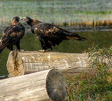 Tasmanian Wedge Tailed Eagles getting up close & personal  by Tim O'Neil