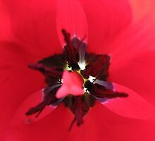 Heart of a red Tulip by Hans Bax