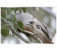 Australian - Butcher Bird Poster