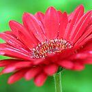 Red Daisy II by MDossat