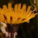 Yellow and Claret (from wild flowers collection) by Antanas